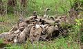 White-backed Vultures (Gyps africanus) (6001461325).jpg