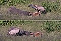 White-backed vulture (Gyps africanus) feeding on elephant leg composite.jpg