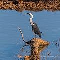 White-necked heron Burke River Boulia Queensland P1030489.jpg