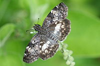 White-patched skipper (Chiomara georgina).jpg