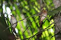 White-whiskered Puffbirds (Malacoptila panamensis) (4505540842).jpg