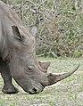 White Rhino (Ceratotherium simum) (33491668036).jpg