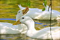White domesticated ducks, young leaves.jpg