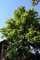 Wiener Naturdenkmal 455 - Winterlinde (Hietzing) l.JPG