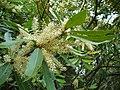Wild almond flower.JPG
