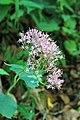 Wild flower Slovenia 7 (35947813866).jpg