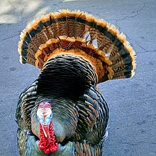 Wild turkey - Wikipedia
