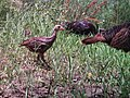 Wild turkey poult (6659381397).jpg