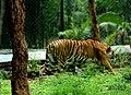 Wildlife, tiger.jpg
