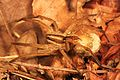Wolf Spider - Rabidosa rabida, Meadowood Farm SRMA, Mason Neck, Virginia.jpg