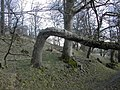 Woodland at the foot of Giant Hill, Cerne Abbas - geograph.org.uk - 353006.jpg