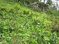 Wulfenia carintiaca 3634.jpg