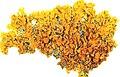 Xanthoria parietina-2.jpg
