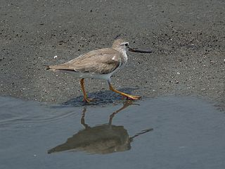 Terek sandpiper Species of bird