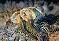 Xeromphalina brunneola 285738.jpg