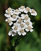 Yarrow (Achillea millefolium).jpg