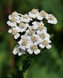 Yarrow (Achillea millefolium) on top of Janče hill (800 m), Slovenia