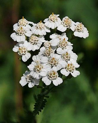 Achillea millefolium - Image: Yarrow (Achillea millefolium)