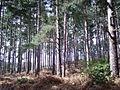 Yateley Heath Wood - geograph.org.uk - 755423.jpg