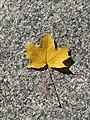 Yeelllow maplee leaf.jpg