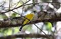 Yellow-breasted Boatbill (Machaerirhynchus flaviventer) (31401065065).jpg