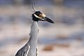 Yellow-crowned Night-Heron (6913364609).jpg
