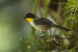 Yellow-throated Brush-Finch - Panama H8O1866 (23365456976).jpg