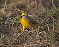 Yellow-throated Longclaw (Macronyx croceus) (21152279245).jpg