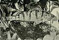 Yellow Perch, Perca flavescens Americanfoodgam00jord 0505.jpg