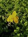 Yellow Rain Lily.jpg
