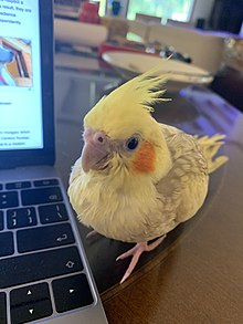 Young cockatiel.jpg