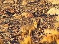 Young fox near Refugio Santa Rosa (4320157439).jpg