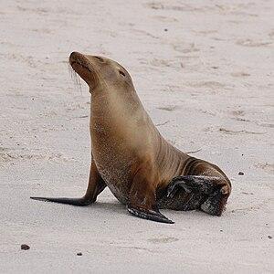 Galápagos-Seelöwe