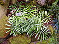 Zamia loddigesii var. latifolia at the US Botanic Garden - Sept 2011 - Stierch.jpg