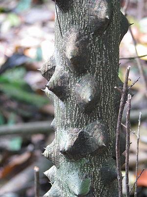Zanthoxylum - Z. rhetsa bark in Pakke Tiger Reserve