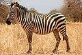 Zebra (24694097565).jpg