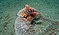 Zebra Turkeyfish (Dendrochirus zebra) (8456840480).jpg