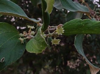 Ziziphus nummularia - Ziziphus nummularia (jujube bush) flower