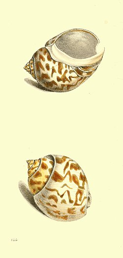 Zoological Illustrations Volume III Plate 144.jpg