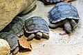 Zurich zoo turtle 01.jpg