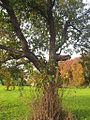Zwetschgenbaum von Othmarsingen 2.jpg
