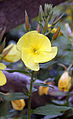 """Oenothera"" Evening primrose at Staplefield, West Sussex, England 02.JPG"