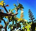 """""""chapéu-de-couro"""" - Salvertia convallariodora A.St.-Hil. - Vochysiaceae 03.jpg"""