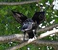 (1)Crow in tree-1.jpg