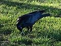 (1)crow Kensington Park 006.jpg