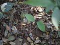 ¿ Parsonsia alboflavescens ? (8461896284).jpg