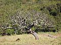 Árvore caducifólia de cerradão, isolada, em LATOSSOLO VERMELHO Argiloso no IFMG campus Bambuí. - panoramio.jpg