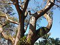 Árvore do Parque do Inhotim.jpg