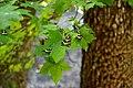 Πεταλούδες της Ρόδου σε δέντρο.jpg