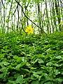 Жовтий тюльпан заповідне урочище.jpg